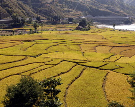 Drop in rice production likely to hit national economy