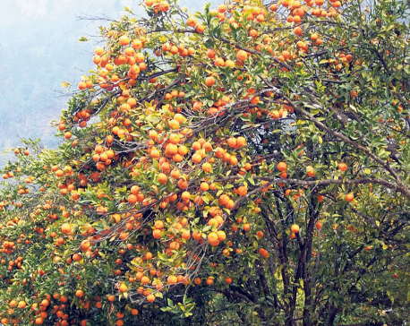 Govt investing Rs 160 million to promote fruits, lime farming