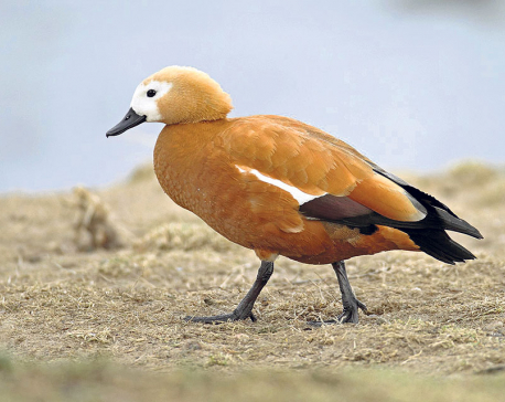 Koshi Tappu witnesses further decline in the arrival of migratory birds