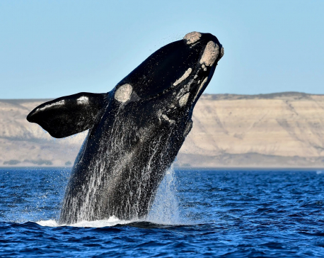 Japan to resume commercial whaling after pulling out of IWC