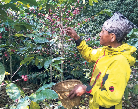 Dhading farmers busy harvesting coffee