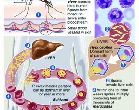 Infographics: Malaria one-dose treatment