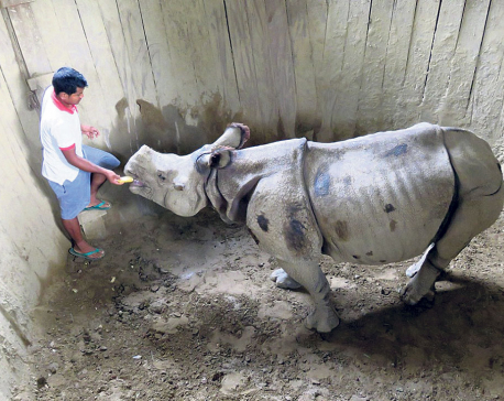 Two wild rhinos getting used to life in pits before flying to China