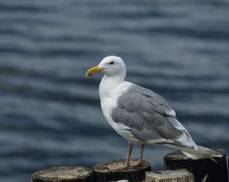 Drunken seagulls found lurching on beaches