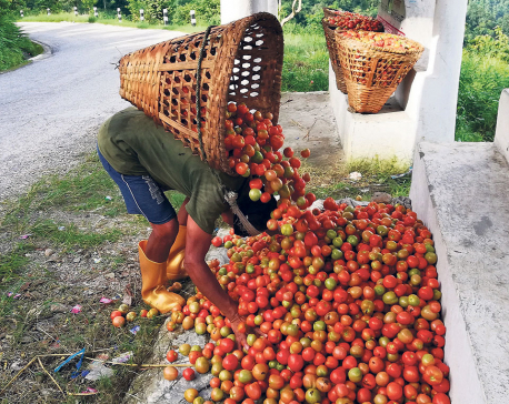 Farmers worried as India halts tomato exports via Kakarbhitta