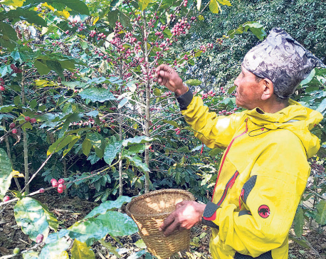 29 tons of coffee exported from Gulmi, Palpa