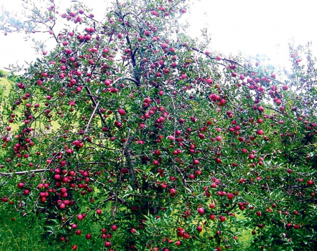 Apple production falling in Jumla