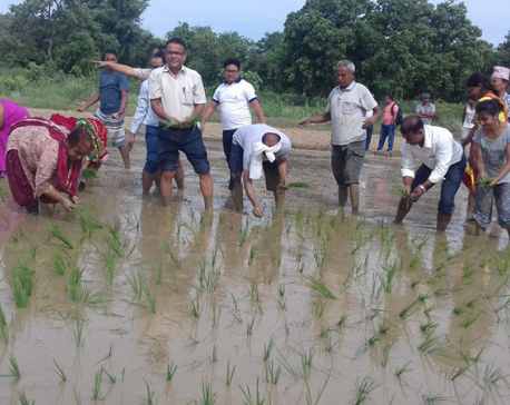 In Pictures: Agriculture Minister plants paddy at Lumbini
