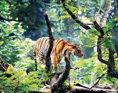 Silent roar of a tiger