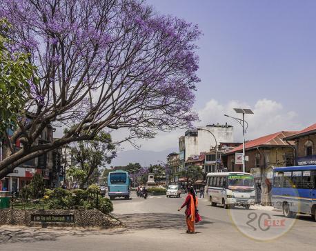 As jacaranda blooms