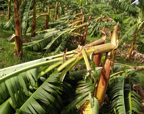 Storm causes loss of Rs 45 million to banana farmers