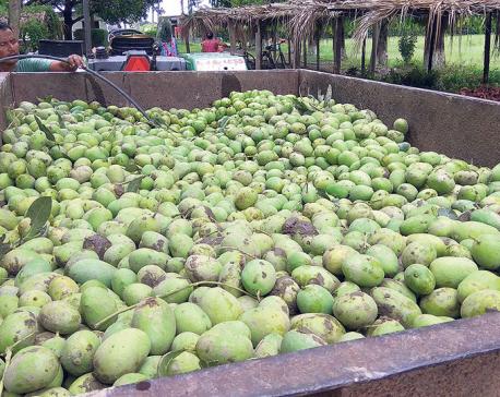Storm damages mango, litchi orchards in Sarlahi