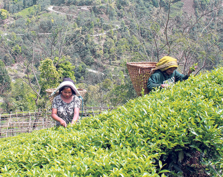 Tea, coffee farming to be expanded in Sagarmatha zone