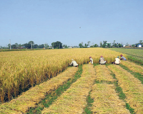 Tarai laborers ease labor shortage in Chitwan