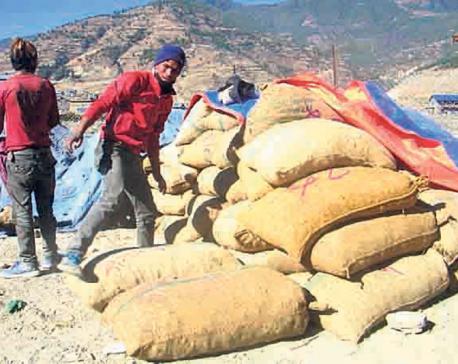 Herbs bring prosperity to Jumla