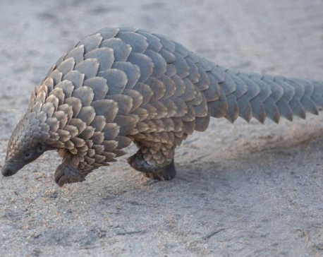 Two held with pangolin scales