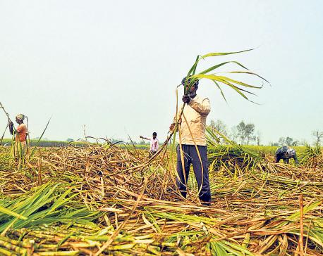 Sugar mills start settlingcane farmers' outsanding dues