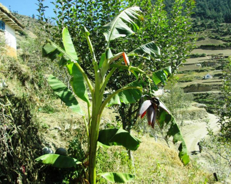 With warmer temperature, Jumla's farm reaps bananas for the first time ever