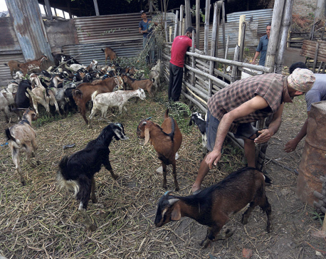 NFC starts selling goats and mountain goats for Dashain