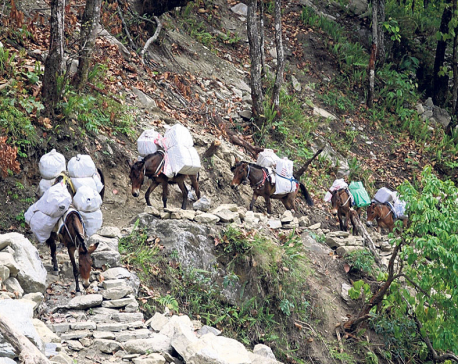 Lack of road compels Sertung locals to transport goods on mules