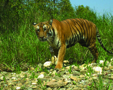 Assessing tiger population