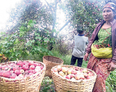 No takers for Dolpa apples