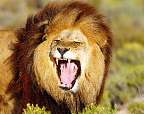 11 lions found dead in Gir forest, Gujarat orders probe
