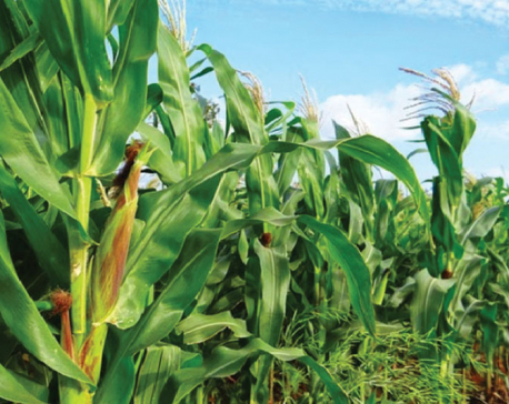 Nepal's neglected crops