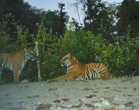 Nepal's tiger population almost double in a decade