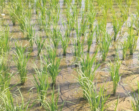 Inadequate rainfall worries Jhapa farmers