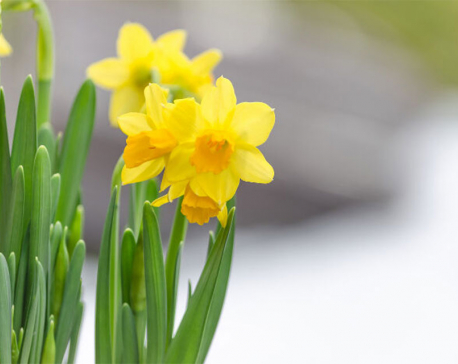 Daffodils May Soon Help Cure Cancer