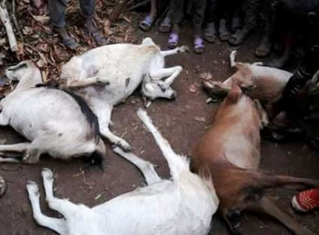 Lightning claims toddler, five goats in Achham