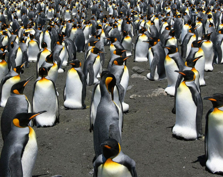 Climate change means king penguins must move or die, warn scientists