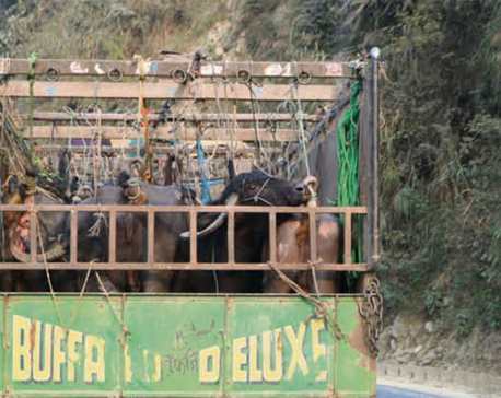 Livestock from Dhading have painful journeys to capital's slaughterhouses