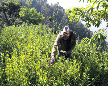Fruit nursery works wonders for Khotang farmer