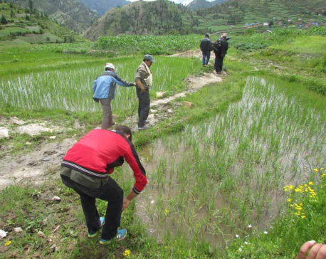 Farmers start cultivating Kalimarsi rice varieties