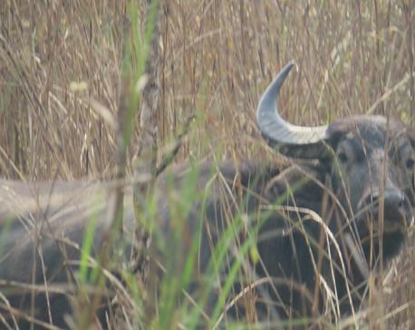 Human-wildlife conflict 'increasing' in Koshi Tappu