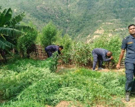 Police destroy 1,300 cannabis plants
