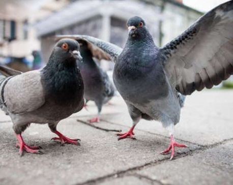 Pigeons dying at alarming rate in Ilam