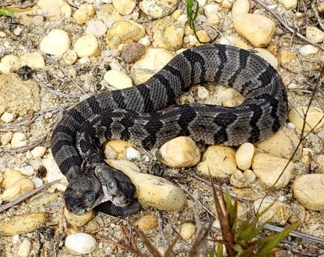 Rare, two-headed rattlesnake found in New Jersey forest
