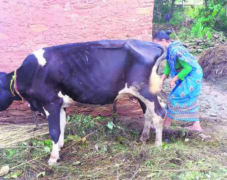 Municipality provides 'sick and old' cows for free, farmers enraged