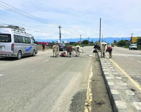 Indian cattle stray into Nepalgunj politics