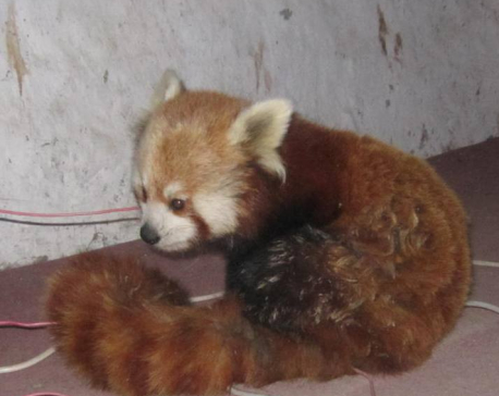 Conservationists stress on collaboration to protect red panda in Nepal