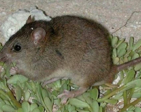 Australian rodent declared first mammal made extinct by human-made climate change