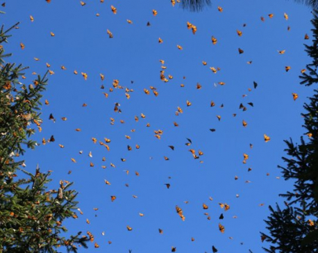 Butterflies abound in mountainous Mexican winter habitat