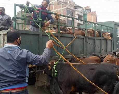 Mahendranagar High court issues mandamus order to manage stray cattle
