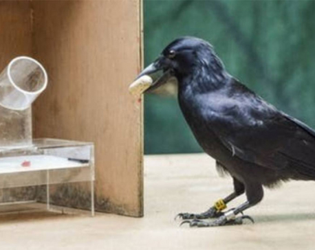 Crows can solve tricky problems by planning ahead, Auckland researchers find