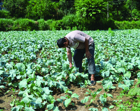 Growing number of farmers getting into vegetable farming in Pyuthan