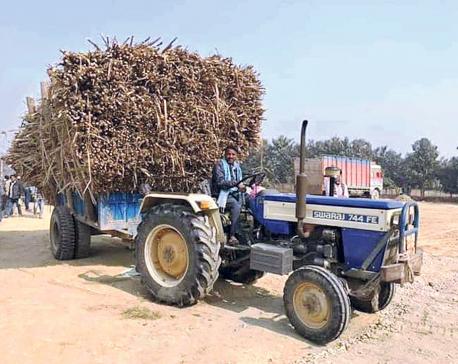 Sugar mills finally begin crushing