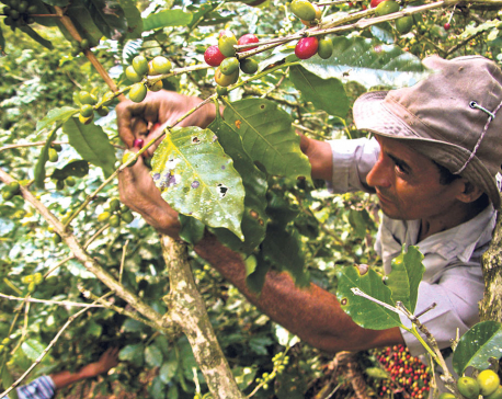 With growing consumption, country's coffee prospects look bright